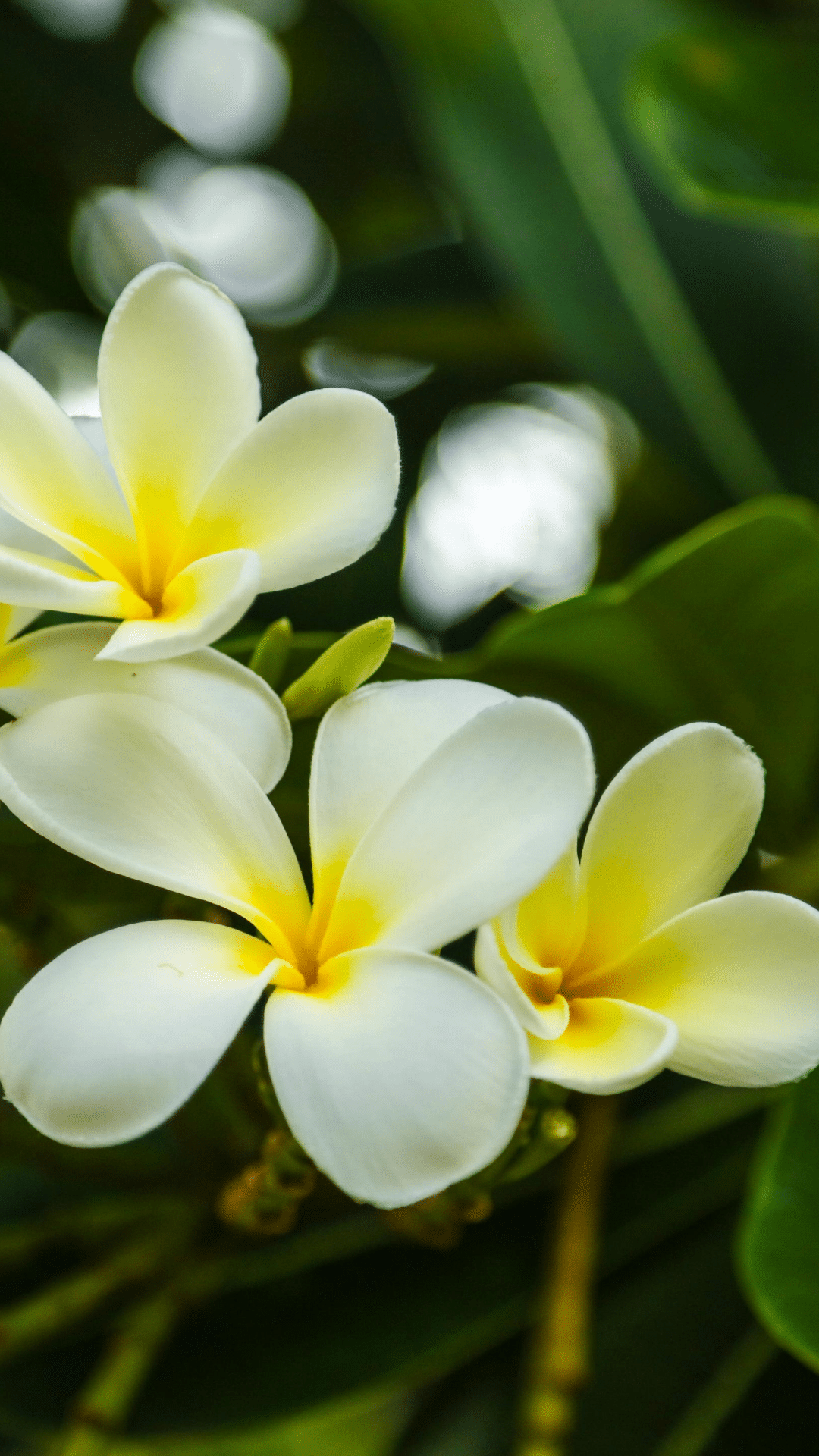 Plumeria flowers are popular for making traditional Hawaiian lei